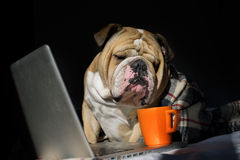 Bulldog sitting in front of computer in a plaid Royalty Free Stock Images