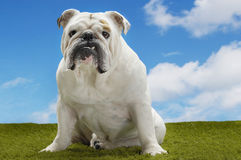 Bulldog Sitting On Grass Against Sky Stock Photo