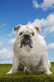 Bulldog Sitting On Grass Against Sky Stock Image