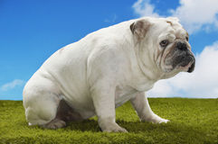 Bulldog Sitting On Grass Against Sky Stock Photography