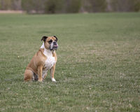 Bulldog sitting in the grass Royalty Free Stock Photography