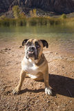 Bulldog sitting by the pond Stock Image