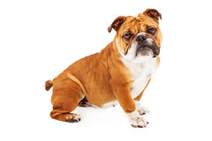Bulldog Sitting Pretty Royalty Free Stock Photography