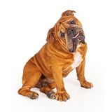 Bulldog sitting with tilted head Royalty Free Stock Photos