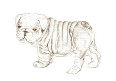 Bulldog Sketch Art Royalty Free Stock Photo