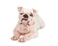Bulldog With Skin Rash from Mange Royalty Free Stock Photos