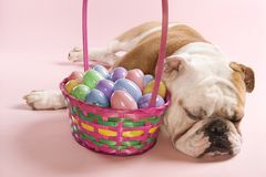 Bulldog sleeping beside basket Royalty Free Stock Image