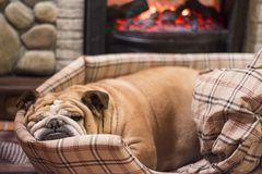 Bulldog sleeping in front of a fire place. Brown bulldog resting in front of a fire place stock photos