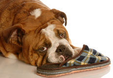 Bulldog with slipper Royalty Free Stock Photos