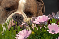 Bulldog smell the flowers Stock Photography