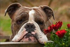 Bulldog smell the flowers Stock Photos