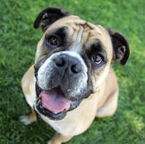 Bulldog smiling in the grass. English bulldog looking up and smiling in the grass for his portrait royalty free stock images