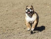Bulldog smiling and running Stock Image