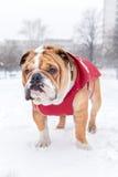 Bulldog and snow Stock Photo