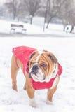 Bulldog in the snow Royalty Free Stock Photos