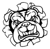 Bulldog Sports Mascot. A mean bulldog dog angry animal sports mascot cartoon character breaking through the background Stock Photography