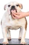 Bulldog stacked Stock Photography