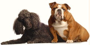 Bulldog and standard poodle Royalty Free Stock Photos