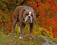 Bulldog standing in autumn colored vegetation. Bulldog standing on a rock in autumn colored vegetation Stock Photos