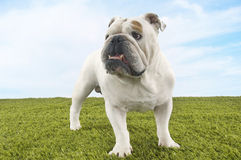Bulldog Standing On Grass Against Sky Royalty Free Stock Photo