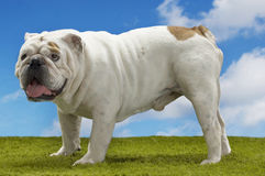 Bulldog Standing On Grass Against Sky Royalty Free Stock Image