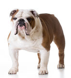 Bulldog standing Stock Photography