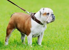 Bulldog standing Stock Photo