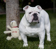 Bulldog standing by a tree. English bulldog posing with a toy standing by a tree stock photos