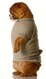 Bulldog standing wearing clothes Royalty Free Stock Photo