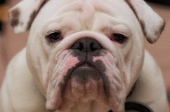 Bulldog Stare Royalty Free Stock Image