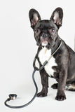 Bulldog with stethoscope around his neck Royalty Free Stock Images