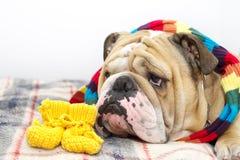 Bulldog su un plaid Immagine Stock Libera da Diritti