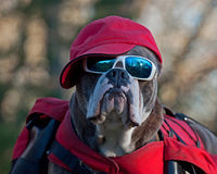 Dog with sunglasses and a hat. Dog Olde English Bulldog that works to carry bags and then you have to protect themselves from the sun, with both sunglasses and Royalty Free Stock Image