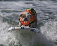 Bulldog Surfing. At the beach Stock Image