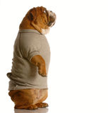 Bulldog in sweatsuit standing Stock Image