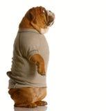 Bulldog in sweatsuit standing Stock Image