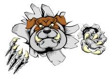 Bulldog tearing through wall. Bulldog sports mascot or animal character ripping through a wall Royalty Free Stock Photo