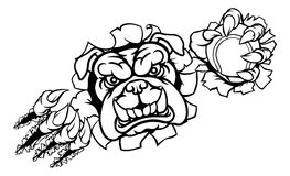 Bulldog Tennis Sports Mascot. A bulldog angry animal sports mascot holding a tennis ball and breaking through the background with its claws Stock Photo