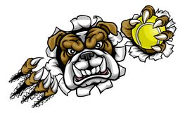 Bulldog Tennis Sports Mascot. A bulldog angry animal sports mascot holding a tennis ball and breaking through the background with its claws Stock Images