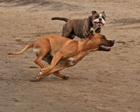 Bulldog and American staffordshire terrier met 2. American staffordshire terrier female face Olde English Bulldog female for play fighting for a while on the Royalty Free Stock Image