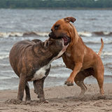 Bulldog and American staffordshire terrier met 4 Stock Image