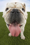 Bulldog With Tongue Out On Grass Royalty Free Stock Images