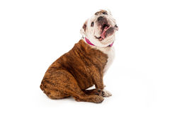 Bulldog With Tongue Out Stock Images
