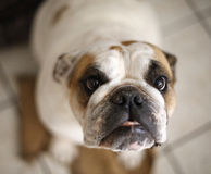 Bulldog top view extreme close up Stock Photo
