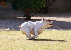 Bulldog tucked in a run. White bulldog tucked in a full run on the grass stock photography