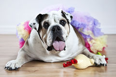 Bulldog in tutu Royalty Free Stock Photos