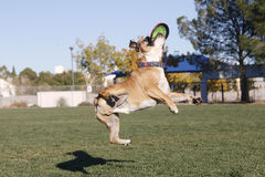 Bulldog in twisted midair with disk. A bulldog caught flying in midair, twisted with his disk Royalty Free Stock Image
