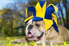 Bulldog in un cappello Immagini Stock