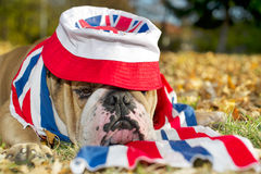 Bulldog in un cappello immagine stock