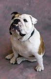 bulldog usiąść Obraz Royalty Free